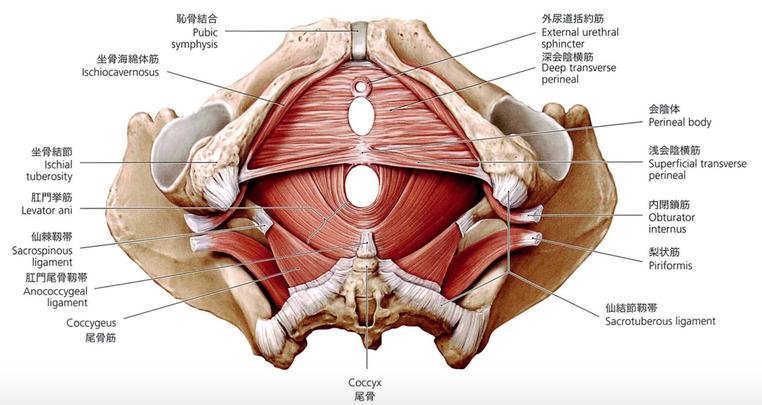 産後の尿もれ改善のポイント尿生殖隔膜にあり