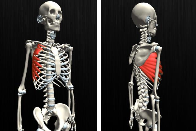 前鋸筋イラスト、イメージ、骨格