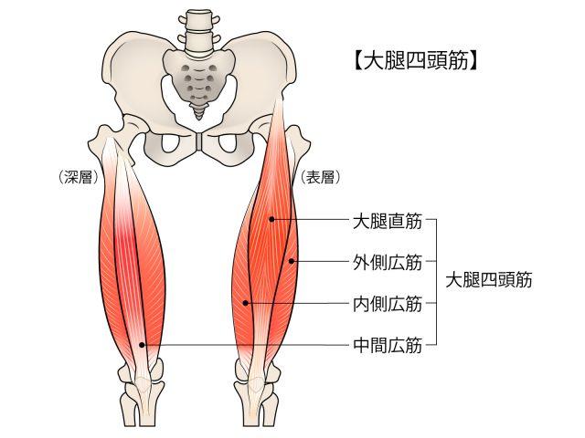 太ももの筋肉のイメージ、脚を細くするには
