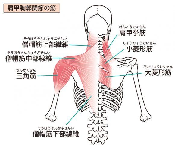 肩甲骨を支える背中の筋肉群、イラスト、イメージ