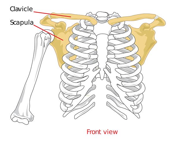 肩甲骨イラスト、イメージ、滑るように動く